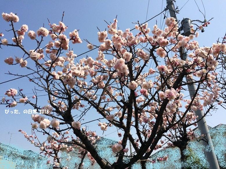 庭の梅,梅の花,満開
