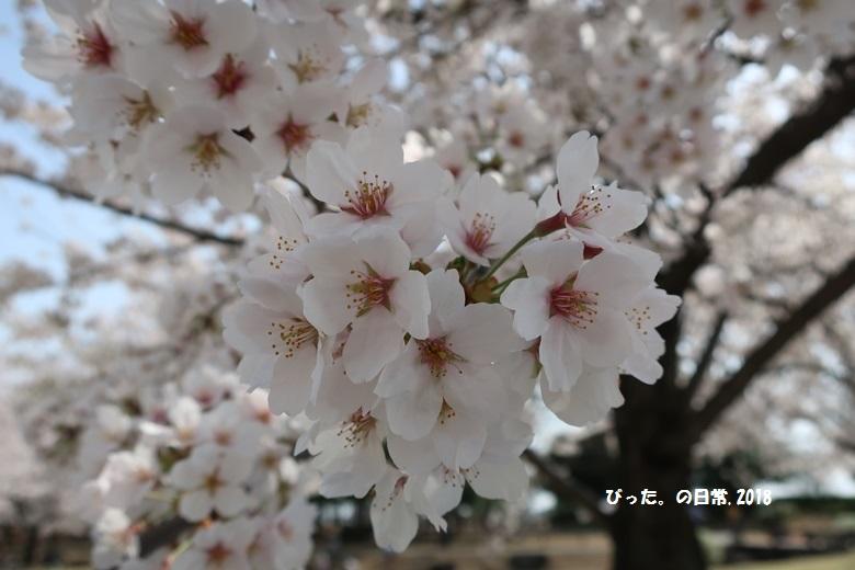 ohanami,桜の花,お花見,古代蓮の里