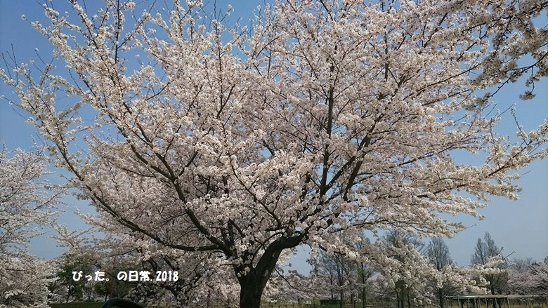 ohanami,桜,満開の桜,お花見,古代蓮の里